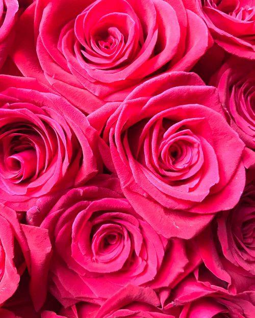 Roses Byron Bay